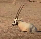 4. Arabian Oryx - Oryx leucoryx