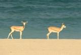 3. Rheem Gazelle (or Sand Gazelle) - Gazella subgutturosa marica