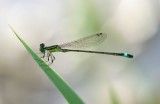 2. Ischnura evansi  - Evans' Bluetail