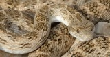 Clifford's Diadem Snake - Spalerosophis diadema