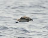 1. Arctic Skua - Stercorarius parasiticus