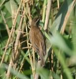3. Moustached Warbler - Acrocephalus melanopogon