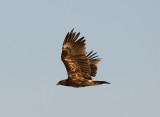 15. Greater Spotted Eagle - Aquila clanga