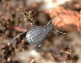1. Adesmia arabica wittmeri (Kaszab, 1981)