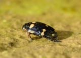 2. Hydaticus (Prodaticus) pictus (Sharp, 1882)