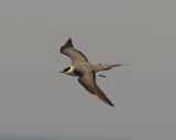 2. Long-tailed Skua - Stercorarius longicaudus
