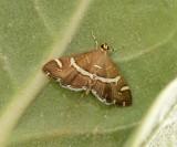1. Spoladea recurvalis (Fabricius, 1775) - Hawaiian Beet Web-worm