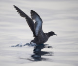 2. Sooty Shearwater - Puffinus griseus