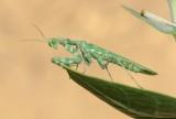 1. Striped Mantis - Blepharopsis mendica (male)