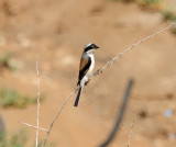 2. Bay-backed Shrike - Lanius vittatus