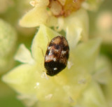5. Phradonoma nobile (Reitter, 1881)