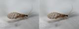 Berothidae - Beaded Lacewings (family): 1 species