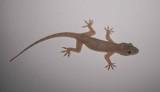 3. Yellow-bellied House Gecko - Hemidactylus flaviviridis