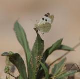 3. Euchloe charlonia charlonia (Donzel, 1842) - Desert Black Tip