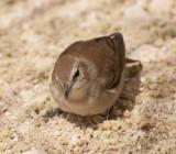 4. Common Nightingale - Luscinia megarhynchos