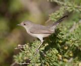 7. Menetries's Warbler - Sylvia mystacea