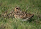 2. Pin-tailed Snipe - Gallinago stenura