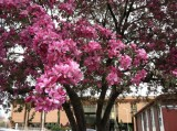 Tree Blooms and Library.jpg
