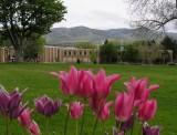 Tulips on the ISU Campus - smallfile - Spring scene taken 16 May 2013 P1010015.JPG