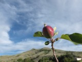 Developing apple in front of Chinese Peak Pocatello DSCF7911.JPG