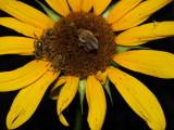 olympus 287 wild sunflower and pollinators.JPG