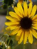 Sunflower on Chinese Peak Trail P1000135.jpg