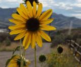Sunflowers along Chinese Peak Trail near the trailhead P1000133.jpg