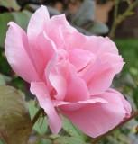 Late September Rose P1000448_v1.JPG