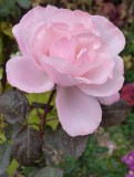 a last rose of the season 30 Oct 2013 P1010683.jpg