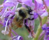 Bee on Fireweed West Fork Mink Creek Trail P1020558.JPG