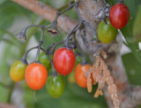 Vine berries _DSC3900.JPG
