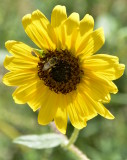 Wild Sunflower with Insects _DSC3963.JPG