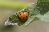 ladybug on sunflower leaf _DSC3849.JPG