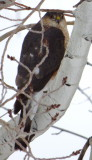 hawk in an aspen tree showing front of face P1030095.JPG
