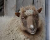 McKees Sheep at Christmas Time _DSC5256.JPG