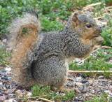 Fox squirrel P1030514.JPG