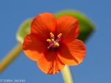 Morrião // Scarlet Pimpernel (Anagallis arvensis)