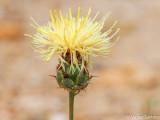 Centaurea occasus