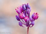 Allium pruinatum