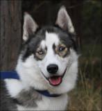 Sibirian Husky - Ori