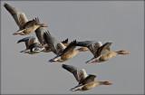 Grågås - Anser anser  Greylag Goose