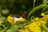 purple-rumped-sunbird-2.jpg