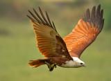 brahminey-kite-fly-with-fish.jpg