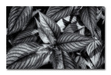 Foliage in Black and White