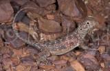 Ctenophorus nuchalis
