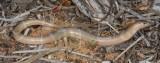 Lerista miopus