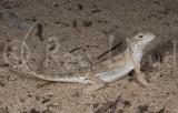 Ctenophorus parviceps