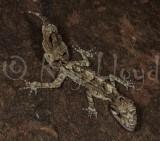 Saltuarius swaini