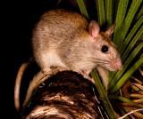 Mammals of Australia (Rodents)