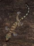 Pseudothecadactylus cavaticus